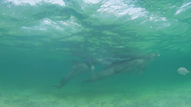 Underwater PAN with group of Bottlenosed Dolphins swimming in shallow sea with fish in foreground