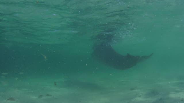 vídeos de stock, filmes e b-roll de underwater pan with group of bottlenosed dolphins swimming in shallow sea - zoologia
