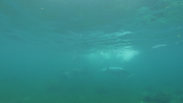 underwater pan with group of bottlenosed dolphins swimming over reef with one upside down - zoology stock videos & royalty-free footage