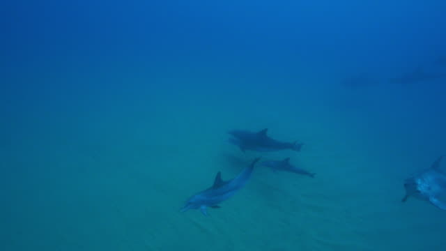 underwater ha pan with group of bottlenosed dolphins swimming over seabed with 1 agitated and carrying remora - クジラ目点の映像素材/bロール