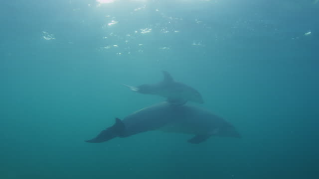 vídeos de stock, filmes e b-roll de underwater pan with group of bottlenosed dolphins with young calf swimming below surface very close to camera - fauna silvestre