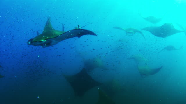 underwater pan with group of mobula rays swimming close to camera through shoal of lanternfish - school of fish stock videos & royalty-free footage