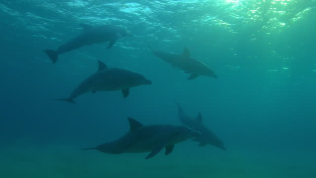 underwater pan with group of sexually excited male bottlenosed dolphins  - tierpenis stock-videos und b-roll-filmmaterial