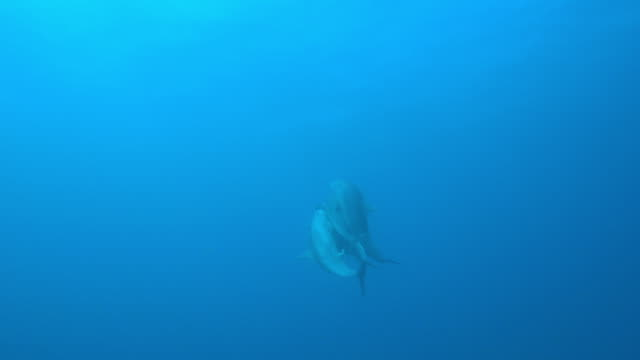 underwater tu with group of sexually excited male bottlenosed dolphins  - tierpenis stock-videos und b-roll-filmmaterial