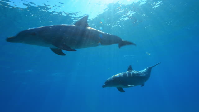 stockvideo's en b-roll-footage met underwater pan with group of sexually excited male bottlenosed dolphins  - dolfijn