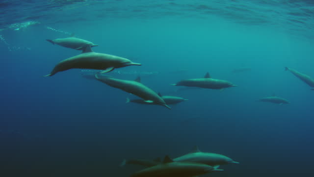 underwater pan with group of spinner dolphins swimming just below surface - cetaceo video stock e b–roll