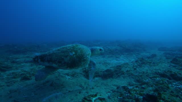 underwater ms pan with hawksbill turtle swimming over reef - echte karettschildkröte stock-videos und b-roll-filmmaterial
