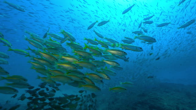 Underwater WS with huge shoals of Yellow Goatfish and other fish floating over reef