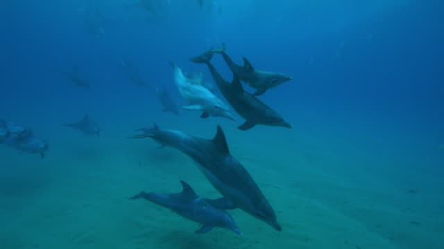 underwater pan with large bottlenosed dolphin group and calves swimming over seabed - cetacea stock videos & royalty-free footage
