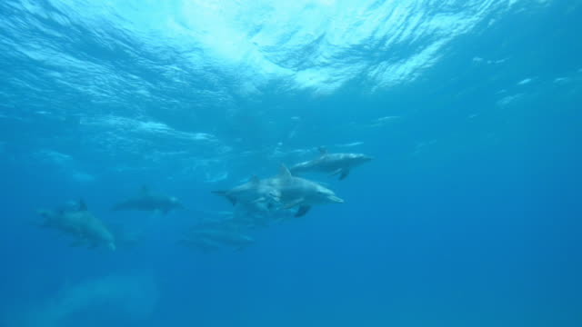 vídeos de stock e filmes b-roll de underwater pan with large bottlenosed dolphin group and young calves swimming  - roaz