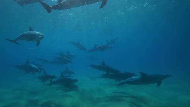 underwater pan with large bottlenosed dolphin group swimming over seabed with touching and sexually excited male - tierpenis stock-videos und b-roll-filmmaterial