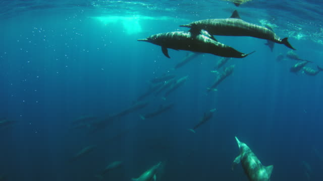underwater pan with large group of spinner dolphins swimming together just below surface and close to camera - cetacea stock videos & royalty-free footage