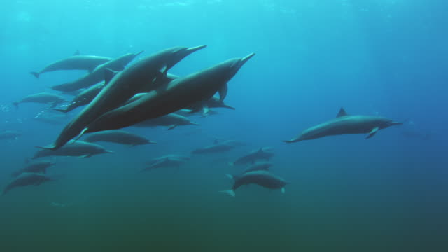 vídeos de stock e filmes b-roll de underwater pan with large group spinner dolphins swimming and surfacing to breathe - golfinho pintado pantropical