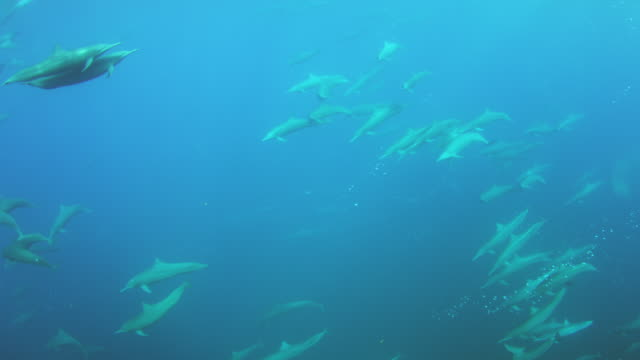 underwater pan with large groups of spinner dolphins swimming close to camera then surfacing to breathe - 40 seconds or greater stock videos & royalty-free footage