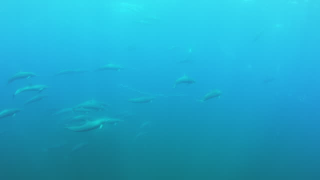 vídeos de stock e filmes b-roll de underwater ws with large groups of spinner dolphins swimming from camera in superpod - golfinho pintado pantropical