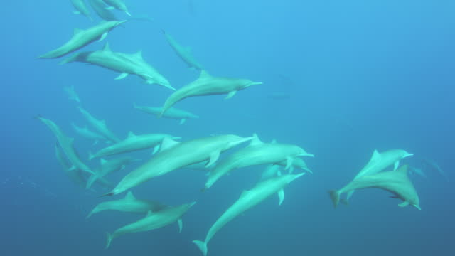underwater pan with large groups of spinner dolphins swimming in superpod - 40秒以上点の映像素材/bロール
