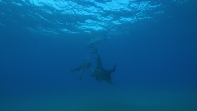 Underwater PAN with male Bottlenosed dolphin group chasing female