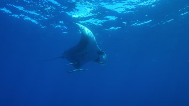 vídeos y material grabado en eventos de stock de underwater la pan with manta ray swimming with remoras nearby - simbiosis