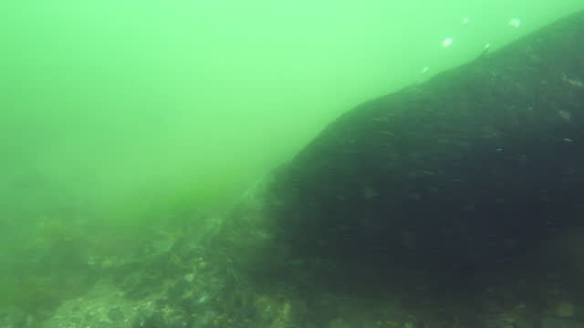stockvideo's en b-roll-footage met underwater cu pan with sea otter foraging on seabed very close to camera - foerageren