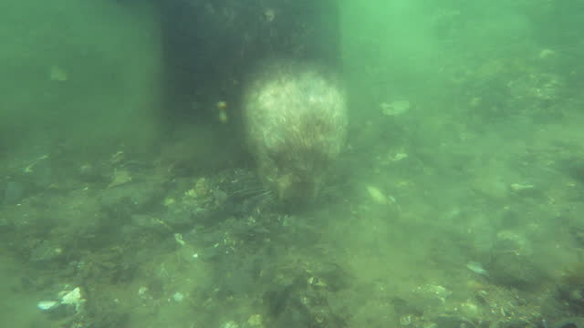 underwater cu pan with sea otter foraging on seabed very close to camera - foraging stock videos & royalty-free footage