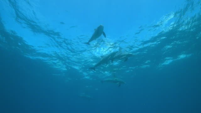 underwater la pan with sexually excited male bottlenosed dolphin group swimming just below surface   - tierpenis stock-videos und b-roll-filmmaterial