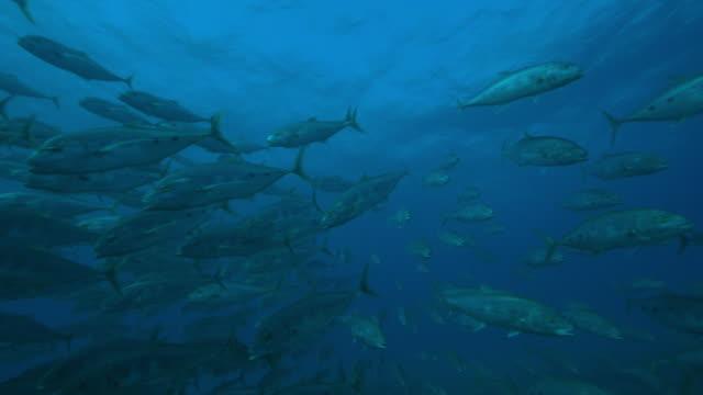 vídeos y material grabado en eventos de stock de underwater pan with shoal of yellowfin tuna swimming very close to camera - atún animal