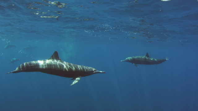 Underwater PAN with Spinner Dolphins swimming close to camera and surfacing to breathe
