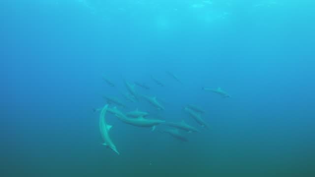 vídeos de stock e filmes b-roll de underwater pan with spinner dolphins swimming - golfinho pintado pantropical