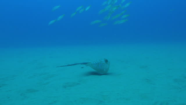 underwater pan with spotted stingray swimming over seabed - stechrochen stock-videos und b-roll-filmmaterial