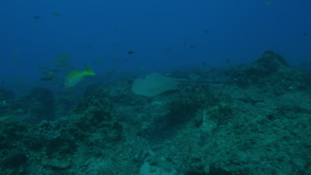 Underwater PAN with Stingray swimming over reef and then seabed