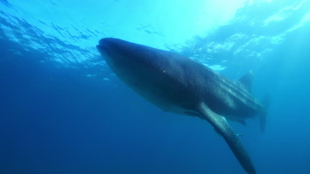 underwater pan with whale shark swimming past camera just below surface with remoras - walhai stock-videos und b-roll-filmmaterial