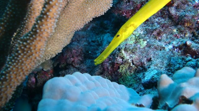 underwater: yellow fish in amazing coral reef - butterflyfish stock videos & royalty-free footage