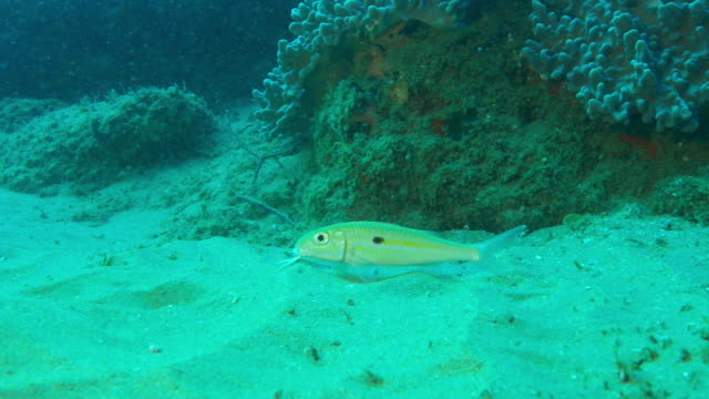 underwater ms yellow goatfish probing seabed with its barbels - barbel stock videos and b-roll footage