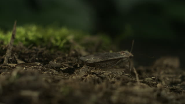 slo mo ecu pan selective focus underwing moth taking off from mossy surface, new york state, usa - moth stock videos and b-roll footage
