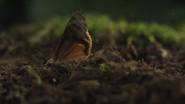 vídeos de stock, filmes e b-roll de slo mo ecu pan selective focus underwing moth taking off from mossy surface, new york state, usa - enfoque de objeto sobre a mesa