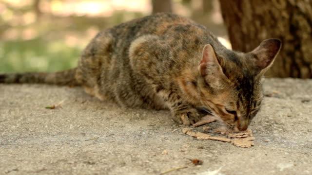 undomesticated cat - morrhår bildbanksvideor och videomaterial från bakom kulisserna