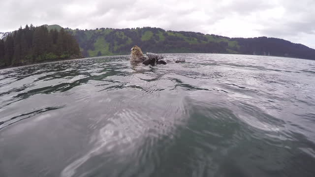 stockvideo's en b-roll-footage met undrwater track towards sea otter which dives - foerageren
