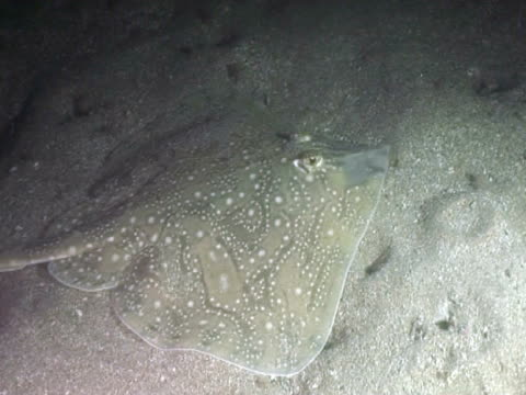 undulate ray feeding at night - tierfarbe stock-videos und b-roll-filmmaterial