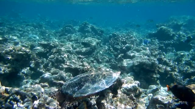 unedited footage of a hawksbill sea turtle (eretmochelys imbricata) - hawksbill turtle stock videos & royalty-free footage