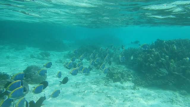unedited footage of a school of powderblue surgeonfish or blue tang fish - surgeonfish stock videos and b-roll footage