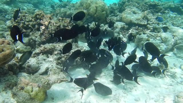 unedited footage of a shoal of black indo-pacific surgeonfish (acanthurus gahhm) - north pacific ocean stock videos & royalty-free footage