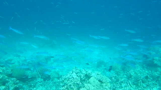 Unedited footage of a Shoal of Blue Fusilier Fish (Caesio caerulaurea)