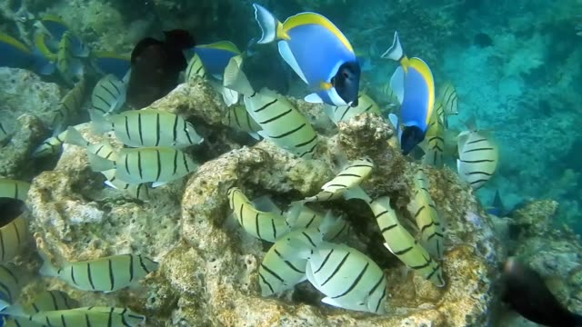 unedited footage of a shoal of convict surgeonfish (acanthurus triostegus) and powder blue surgeonfish or blue tang fish (acanthurus leucosternon) - surgeonfish stock videos and b-roll footage