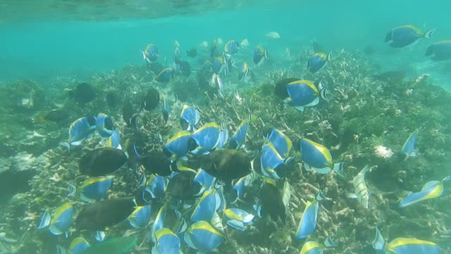 unedited footage of black surgeonfish and powder blue surgeonfish - surgeonfish stock videos and b-roll footage