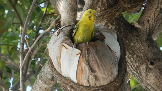 Unedited Footage of Budgerigar (Melopsittacus undulatus), Long-tailed Parakeet in its nest