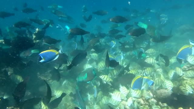 unedited footage of colorful surgeonfish and parrotfish - ブダイ点の映像素材/bロール