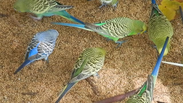 unedited footage of lots of budgerigar (melopsittacus undulatus), long-tailed parakeet - budgerigar stock videos & royalty-free footage