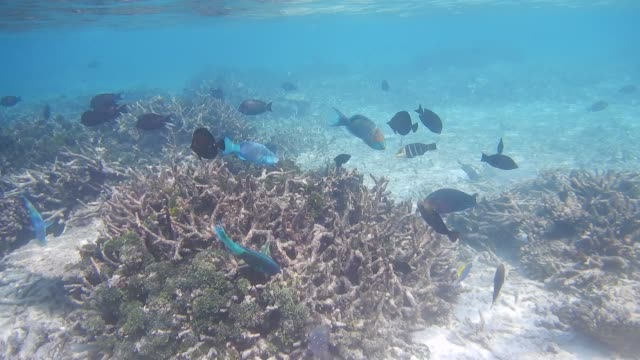 unedited footage of maldivian coral reef, tropical fish and coral bleaching - moorish idol stock videos and b-roll footage
