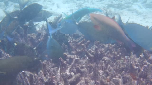 Unedited Footage of Parrotfish on Acropora Coral Formation