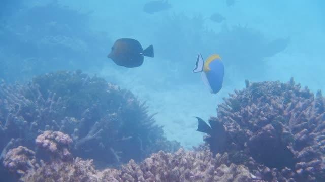 Unedited Footage of  Powderblue Surgeonfish and Sailfin Surgeonfish